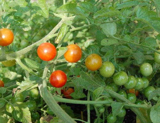 health and wellness, organic, tomatoes
